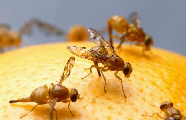 drones mimic fruit fly
